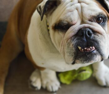 photo of bulldog