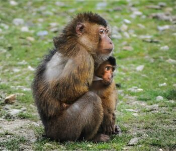 Barbary Apes - mother and child