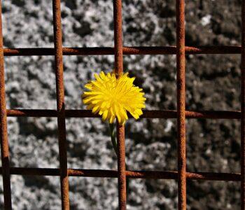 daisy on rust fence